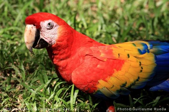 Puntarenas - Ara rouge