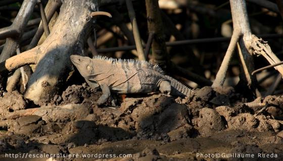 Puntarenas - Ctenosaur noir