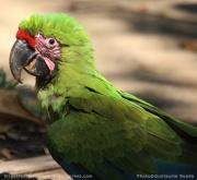 Puntarenas - Grand Ara vert
