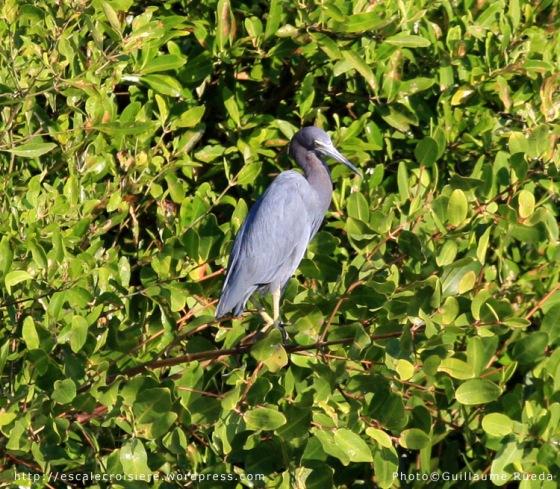 Puntarenas - Héron bleu