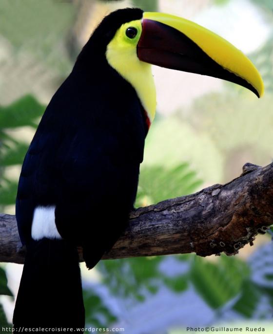 Puntarenas - Toucan de Swainson