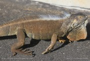 Grand Cayman - George Town - Iguane
